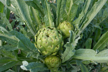 An artichoke growing in Castroville, California