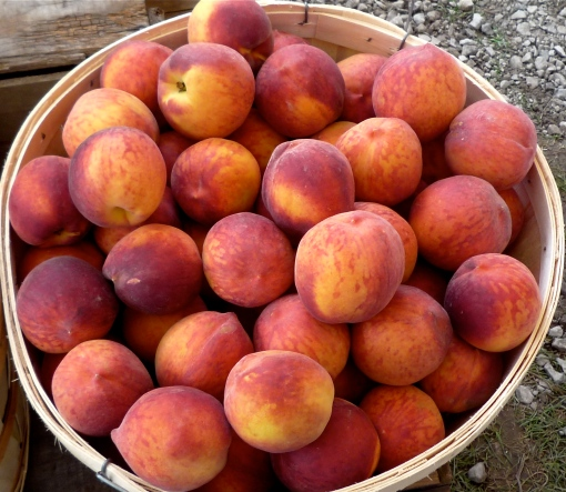 A basket of Niagara peaches at a roadside farmstand