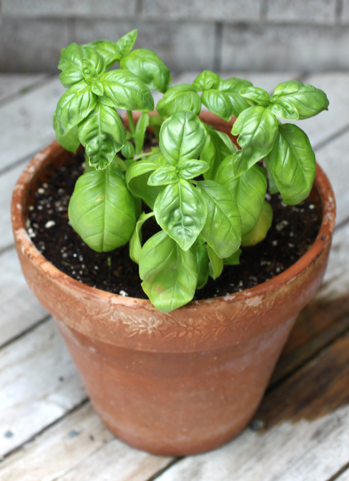 How To Grow Basil Indoors | Gardening Tips And Tricks To Become A Successful Homesteader